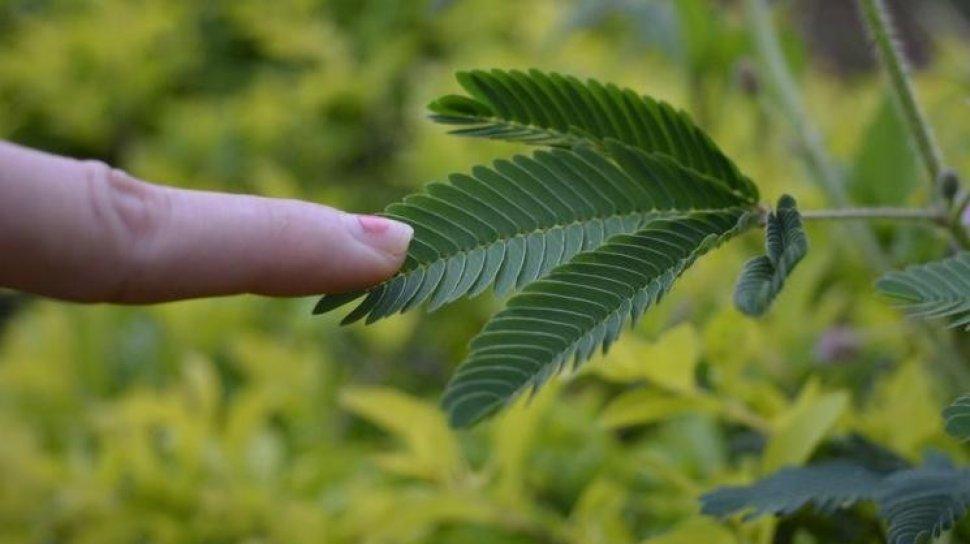 Ramuan obat kuat tahan lama dengan daun putri malu