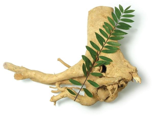 Resep ramuan herbal obat kuat lelaki dewasa tongkat ali