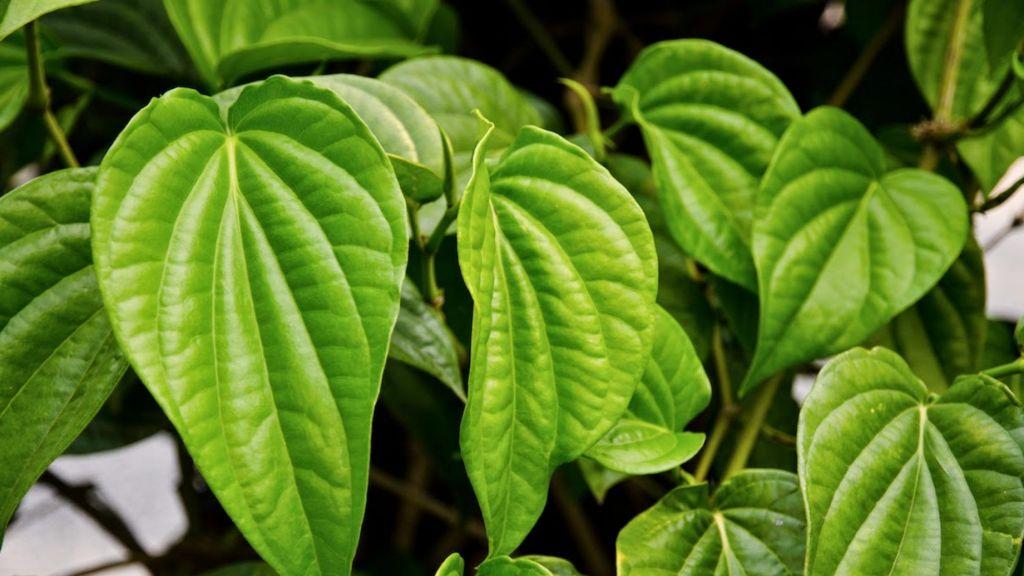 Resep ramuan obat kuat pria tahan lama diatas ranjang dengan daun sirih